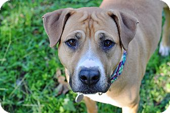 Pit Bull Terrier/Labrador Retriever Mix Dog for adoption in College Station, Texas - Aurora