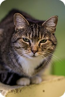 Domestic Shorthair Cat for adoption in Indianapolis, Indiana - Ramblin' Rosie