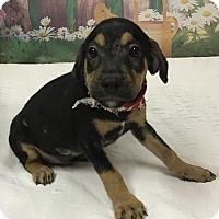 Adopt A Pet :: OLLIE - Fort Pierce, FL