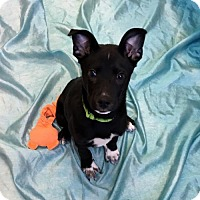 Adopt A Pet :: Dougie (Manhattan) - New York, NY