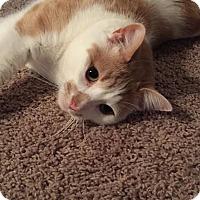 Adopt A Pet :: Bailey - Rochester Hills, MI