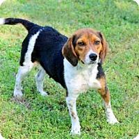 Beagle Dog for adoption in Washington, D.C. - MONIQUE