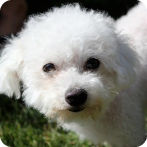 Bichon Frise Mix Dog for adoption in La Costa, California - Zoe