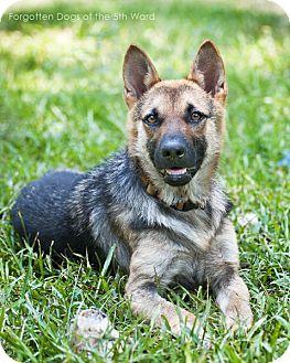 German Shepherd Dog Dog for adoption in Houston, Texas - Juliet