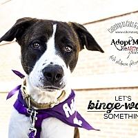 Akita Mix Dog for adoption in Mooresville, North Carolina - Sasha Bear