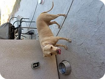 Labrador Retriever/Bull Terrier Mix Dog for adoption in Bakersfield, California - Nena