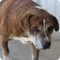 Beagle/American Pit Bull Terrier Mix Dog for adoption in Von Ormy, Texas - Oscar