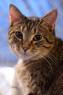 Domestic Shorthair Cat for adoption in Geneseo, Illinois - Thackery