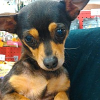 Adopt A Pet :: Chloe - Evans, GA
