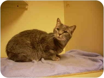 Domestic Shorthair Cat for adoption in Bartlett, Tennessee - Squeekers