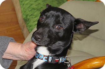 Italian Greyhound/Schipperke Mix Dog for adoption in Scottsdale, Arizona - Batman