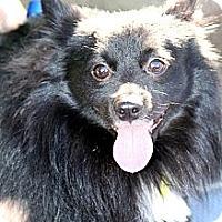 Adopt A Pet :: Baby Bear - Phoenix, AZ