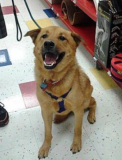 Labrador Retriever/Jindo Mix Dog for adoption in Studio City, California - Teddy