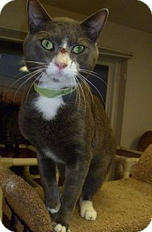 Domestic Shorthair Cat for adoption in Hamburg, New York - Samson