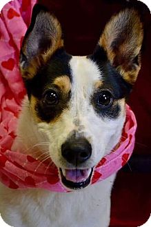 Jack Russell Terrier/Terrier (Unknown Type, Small) Mix Dog for adoption in Middlebury, Connecticut - Zia
