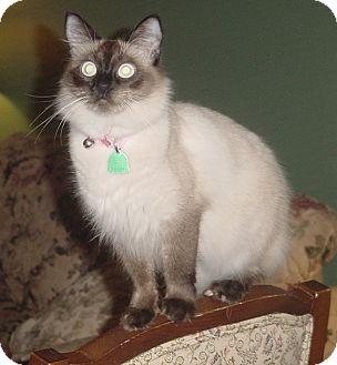 Siamese Cat for adoption in Franklin, North Carolina - Zoraya