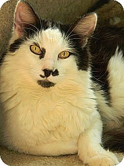 Domestic Mediumhair Cat for adoption in Chico, California - Salty