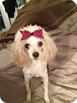 Poodle (Toy or Tea Cup) Dog for adoption in Northumberland, Ontario - Hailey