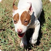 Adopt A Pet :: Dora - Groton, MA