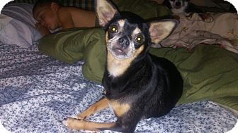 Chihuahua Mix Dog for adoption in Mount Pleasant, South Carolina - Timberlyn