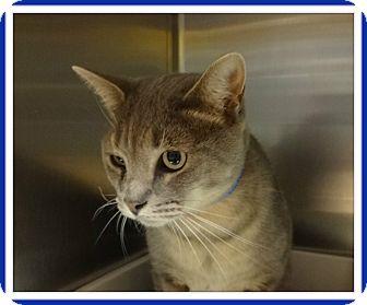 Domestic Shorthair Cat for adoption in Marietta, Georgia - RASCAL
