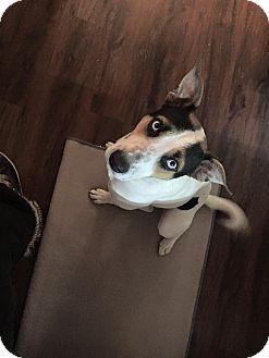 Husky/Labrador Retriever Mix Dog for adoption in Laingsburg, Michigan - Blue