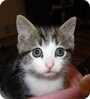 Domestic Mediumhair Kitten for adoption in Richfield, Ohio - Bella's Litter