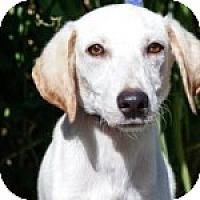 Adopt A Pet :: Watson - Brooklyn, NY