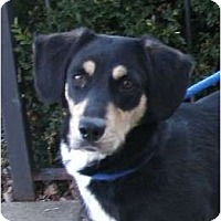 Adopt A Pet :: ChynaPENDING - Toronto/Etobicoke/GTA, ON