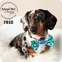 Adopt A Pet :: Fred-pending adoption - Omaha, NE