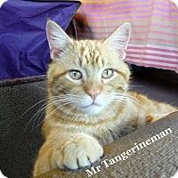 Adopt A Pet :: Mr. Tangerine Man - Bentonville, AR