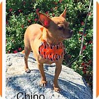 Chihuahua Dog for adoption in Santa Ana, California - Chino (LM)