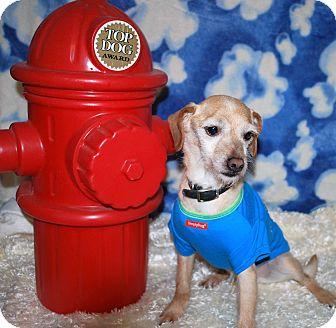 Rat Terrier/Shih Tzu Mix Dog for adoption in Waupaca, Wisconsin - Blitzen