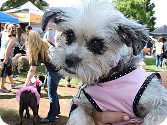 Yorkie, Yorkshire Terrier Mix Dog for adoption in San Diego, California - Lexi