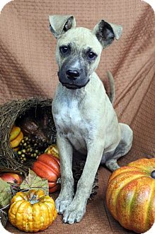 Boxer/Shepherd (Unknown Type) Mix Puppy for adoption in Westminster, Colorado - THEO