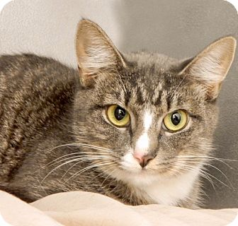 Domestic Shorthair Cat for adoption in Long Beach, New York - Kelly