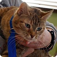Adopt A Pet :: Harriet - Washington, DC