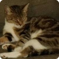 Adopt A Pet :: Athena - brewerton, NY