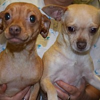Adopt A Pet :: Lilly & Lexie - Seattle, WA