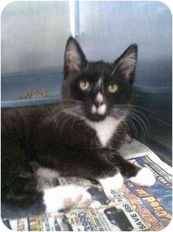 Manx Cat for adoption in Moses Lake, Washington - Gilly