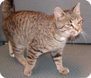 Domestic Shorthair Cat for adoption in Jackson, Michigan - Wiggle