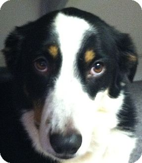 Border Collie Mix Dog for adoption in Anderson, South Carolina - Georgia