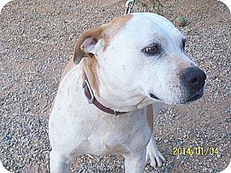 English Bulldog Mix Dog for adoption in Littlerock, California - Cindy