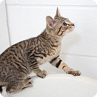 Adopt A Pet :: Cheeto - Athens, GA