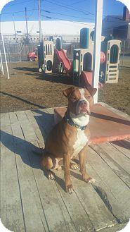 Staffordshire Bull Terrier/Labrador Retriever Mix Dog for adoption in New Windsor, New York - CHEWIE