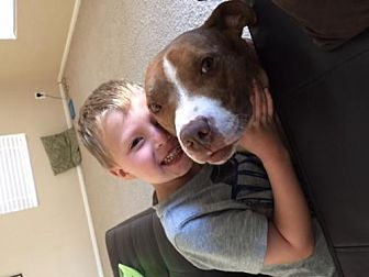 Pit Bull Terrier Mix Dog for adoption in Chandler, Arizona - JAVA