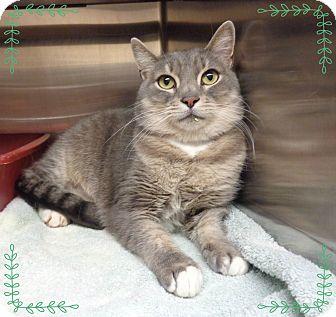 Domestic Shorthair Cat for adoption in Marietta, Georgia - RAGS