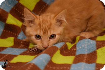 Domestic Shorthair Kitten for adoption in Flushing, Michigan - Mindy