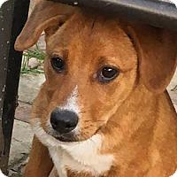 Adopt A Pet :: Ginger - West Hartford, CT