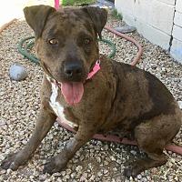 Adopt A Pet :: Hippo - Phoenix, AZ